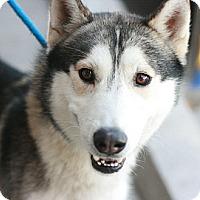 Adopt A Pet :: Lightning - Canoga Park, CA