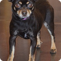 Adopt A Pet :: Tara-Adoption pending - Bridgeton, MO