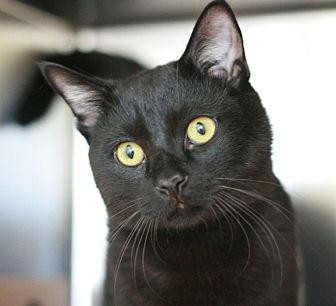 Domestic Shorthair Cat for adoption in Canoga Park, California - Pepper