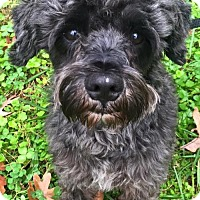 Adopt A Pet :: Oreo of Cumberland - Spartanburg, SC