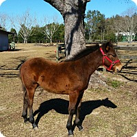 Quarterhorse Mix for adoption in Cantonment, Florida - Chance