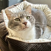 Domestic Shorthair Cat for adoption in Westchester, California - Tundra