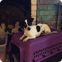 Adopt A Pet :: Lacey - S. Pasedena, FL