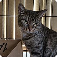 Adopt A Pet :: Prince Tommen - Berkeley Hts, NJ