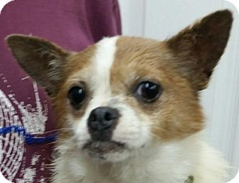 Chihuahua Mix Dog for adoption in Lexington, Kentucky - Mugsey