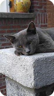 Domestic Shorthair Cat for adoption in New York, New York - Allie