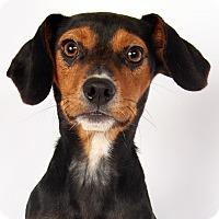 Adopt A Pet :: Nate Terrier - St. Louis, MO