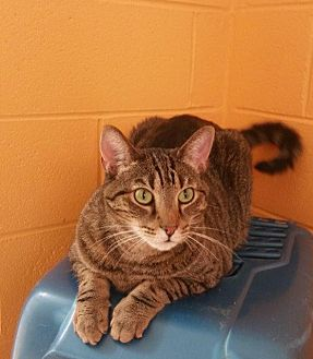 Domestic Shorthair Cat for adoption in Crossville, Tennessee - Tabby