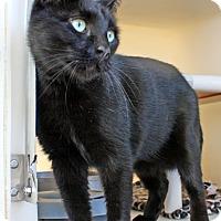 Adopt A Pet :: Noir - Harrisonburg, VA