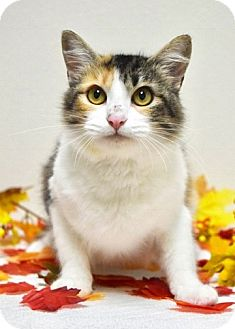 Domestic Mediumhair Cat for adoption in Dublin, California - Louise