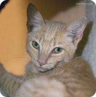 Domestic Shorthair Cat for adoption in Tucson, Arizona - Declan