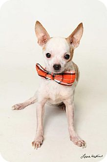 Chihuahua Dog for adoption in Kenner, Louisiana - Alvin