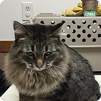 Maine Coon Cat for adoption in Ypsilanti, Michigan - Mickie-Maine Coon