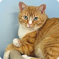 Domestic Shorthair Cat for adoption in Spokane Valley, Washington - Tom