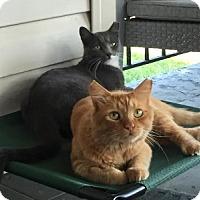 Adopt A Pet :: Miss Grey - Alexandria, VA