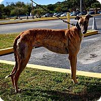 Adopt A Pet :: Boc's Star Wolf - Sarasota, FL