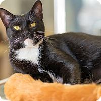 Domestic Shorthair Kitten for adoption in Montclair, California - Avion