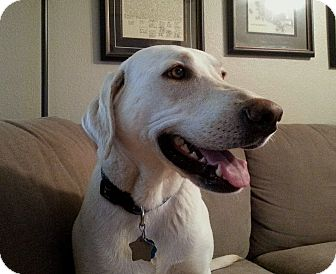 Labrador Retriever Dog for adoption in Coppell, Texas - Bianca