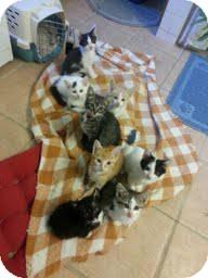 Domestic Shorthair Kitten for adoption in Madison, Wisconsin - KITTENS