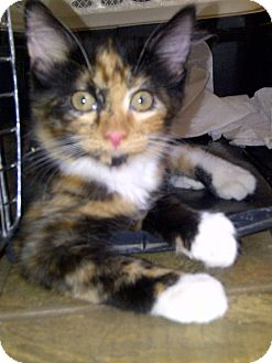 Calico Kitten for adoption in Escondido, California - Kiya