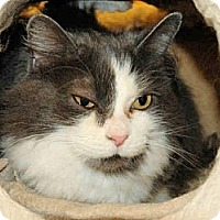 Domestic Mediumhair Cat for adoption in Eastsound, Washington - Shelton