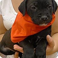 Adopt A Pet :: Blossom kind soul - Sacramento, CA