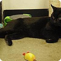 Domestic Shorthair Cat for adoption in Wakefield, Massachusetts - Cardigan