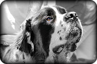 St. Bernard Dog for adoption in Bellflower, California - Bart