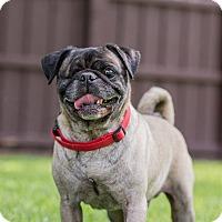 Adopt A Pet :: Big Guy - Grapevine, TX
