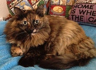 Domestic Longhair Cat for adoption in Port Angeles, Washington - Lexi
