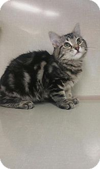 Domestic Shorthair Kitten for adoption in Walnut Creek, California - Romeo