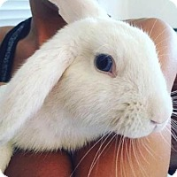 Lop, Holland for adoption in Los Angeles, California - Ice Cube