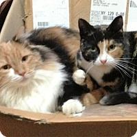 Adopt A Pet :: Trudy&Ruthie (Sister Calicos) - Waterbury, CT