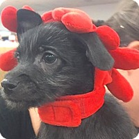 Terrier (Unknown Type, Small) Mix Puppy for adoption in Lakewood, Colorado - Davis