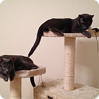 Russian Blue Cat for adoption in Brooklyn, New York - Tia