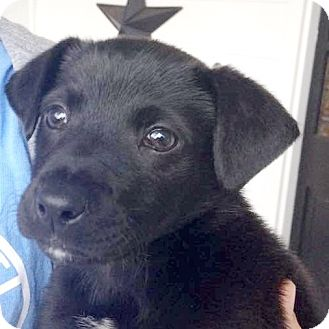 Labrador Retriever Mix Puppy for adoption in CUMMING, Georgia - Smokey