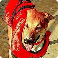 Adopt A Pet :: Shiva- Indian Pariah Dog - Monroe, NJ
