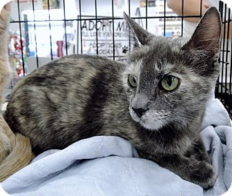 Domestic Shorthair Cat for adoption in Garland, Texas - Naomi
