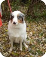 Australian Shepherd Dog for adoption in Antioch, Illinois - Otis ADOPTED!!