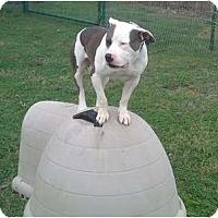 Adopt A Pet :: Little John - Aubrey, TX