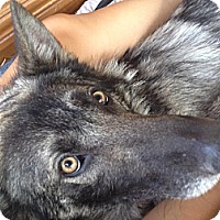 Adopt A Pet :: Chief - Ashland, OR