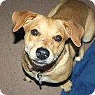 Adopt A Pet :: Ginger - Great with all dogs!