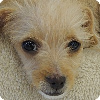 Adopt A Pet :: Mila - La Habra Heights, CA
