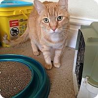 Adopt A Pet :: Jinx - St. Louis, MO