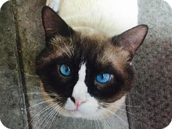 Siamese Cat for adoption in Sebastian, Florida - Bosco