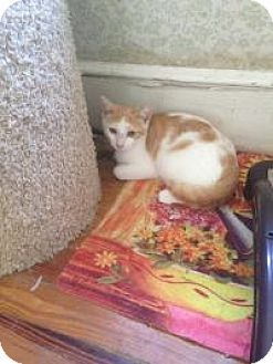 Domestic Shorthair Cat for adoption in Medford, New Jersey - Buddy (Jeannie's Kittens)