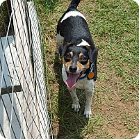 Rat Terrier Mix Dog for adoption in Tallahassee, Florida - Trent