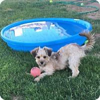 Adopt A Pet :: Lucy - Maricopa, AZ