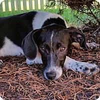 Adopt A Pet :: Hailey - Aurora, IL