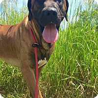 Mastiff Mix Dog for adoption in Lafayette, New Jersey - Wes
